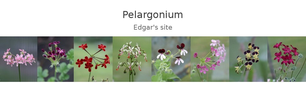 Pelargonium – Edgar's site
